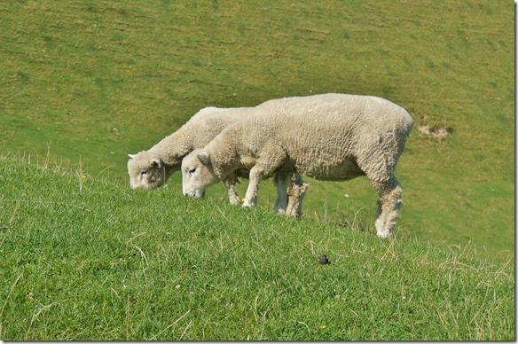 2206 diese Schafe lassen sich nicht aus der Ruhe bringen durch mein fotografieren