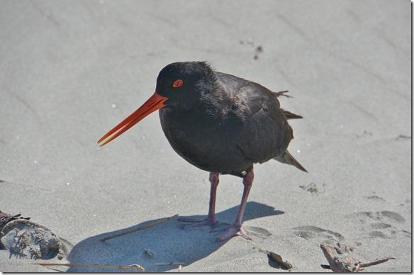 2209 dieser Vogel brütet im Sand und als Gaby zu nahe dem Nest kam ist er auf sie los geflogen wie ein Jagdflugzeug im Krieg