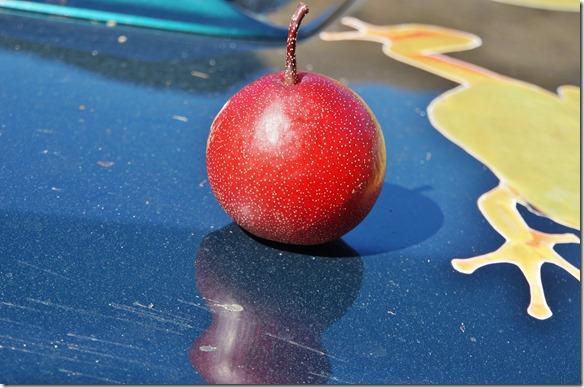 2214 in einem Verkaufsladen entlang der Strasse bei Motueka wollten wir diese Früchte kaufen = sie dürfen nur in den Export