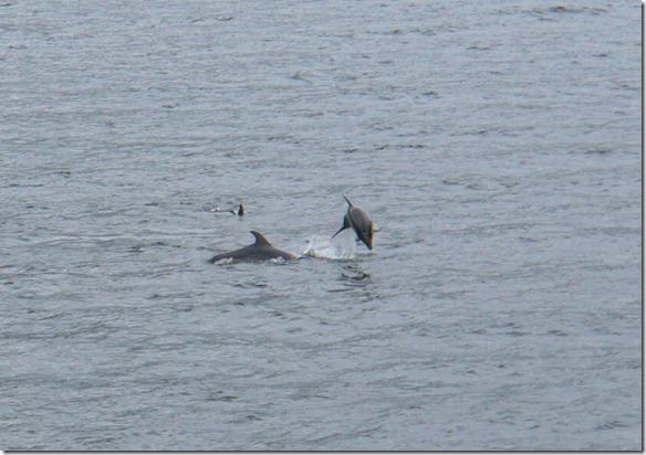 2372 wir haben Glück und können noch Bottlenosed Delfine beobachten und fotografieren