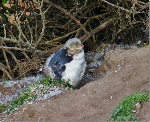 2421 ein junger Pinguin der gerade sein flauschiges Gefieder abwirft