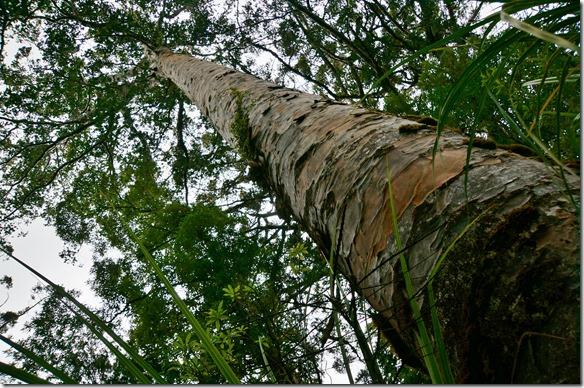 2546 wir haben die Riesenbäume, die Kauri Trees besucht