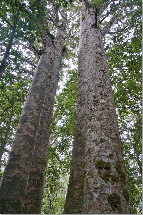 2547 die grössern Bäume haben Namen, hier z.B. die vier Schwestern