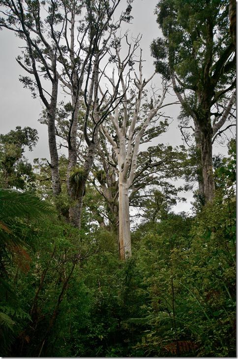 2549 z.Z. sind die Bäume gefährdet durch eine Pilzbefall -- hier das Ende eines Riesen