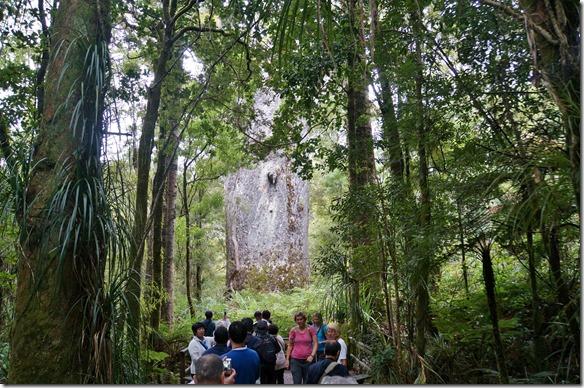 2551 dies ist der zweitdickste Kauri mit ca. 4-5 Metern