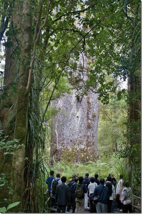 2553 die Kauri können bis ca. 50 Meter hoch und absolut zylindrisch wachsen