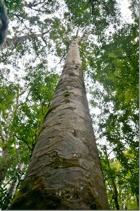 2556 hier kann man sehen wie schön gerade und hoch diese Bäume wachsen