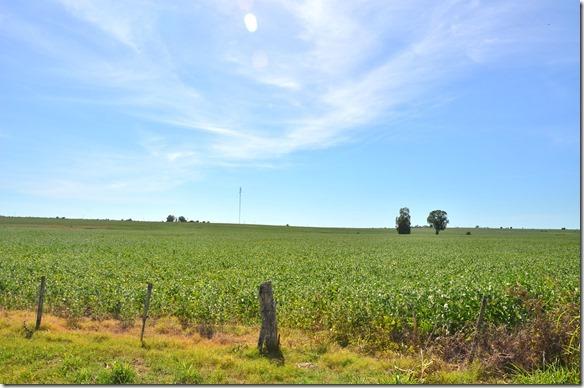 a1875 dies sind meiner Meinung nach Sojapflanzen = hier gibt es sie hunderte von Kilometern entlang der Strasse_thumb[1]