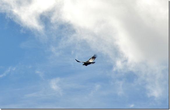 a2186 jetzt habe ich mehr Glück und kann die Condore aus näherer Distanz fotografieren