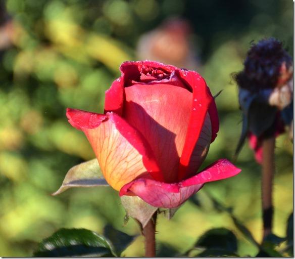 a2253 trotz des Frostes in der Nacht sind diese Rosen noch traumhaft