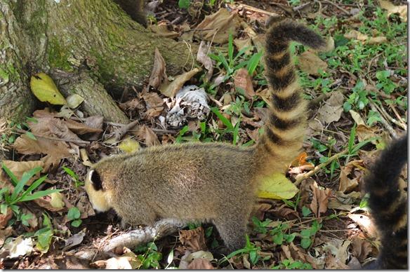 a2539 dies ist ein Coati und gar nicht menschenscheu = er klaut das Essen wo er kann und gegebenenfalls wenn man nicht abgeben will beisst er zu und krazt diefe Wunden in Hände und Beine