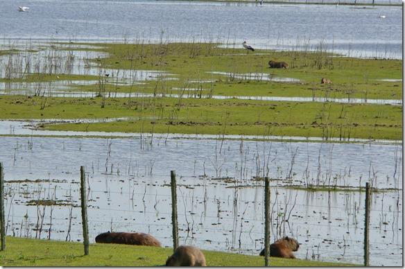 b1035 auf der Fahrt Richtung Norden haben wir viele Carpinchos (grösstes Nagetier) in den Sümpfen gesehen