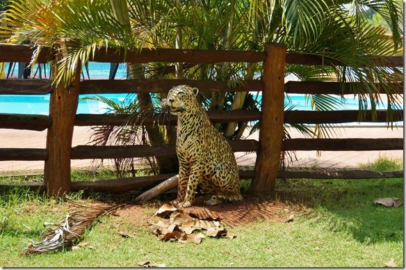 b1096 die Hauptatraktion im Pantanal = mit dem Jaguar ist es wie bei den andern Wildkatzen in andern Parks der Welt ein Zufall wenn man sie sieht. Wir können nur hoffen