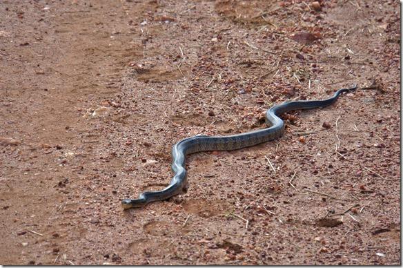 b2004 eine ungiftige, ca. 4 Meter lange Schlange vor den Safarifahrzeug