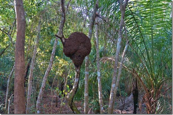 b2016 ein Termitenbau im Geäst eines Strauches