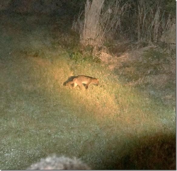 b2030 sieht aus wie ein Fuchs ist aber ein Wildhund