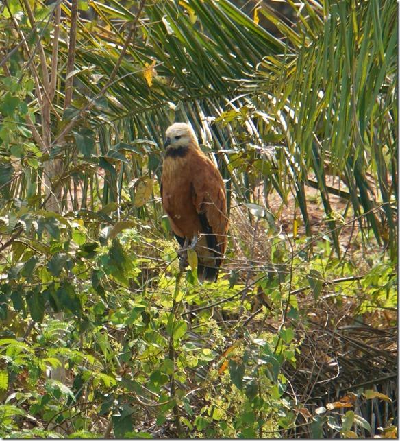 b2036 eine Falkenart auf Beobachtungsposten