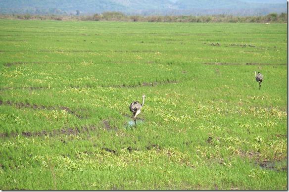 b2070 Ema die Schwestertiere der Straussen und Emus