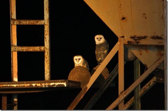 b2131 dieses Eulenpaar beobachtet uns wie wir sie