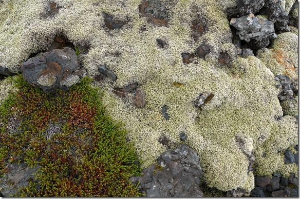 1727 die Lava ist überall mit diesen moosartigen Pflanzen überwachsen
