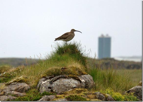 1759 ein Ibis ähnlicher Vogel fliegt mit uns